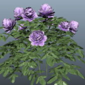 Purple Rose Plant