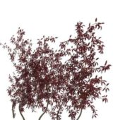 Purpleleaf Sand Cherry Tree