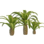 Nature Pygmy Date Palm Trees