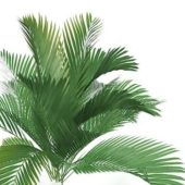 Green Queen Palm Tree