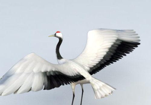 Red Head Wild Crane Bird