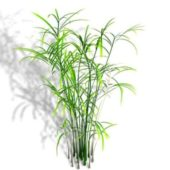 Garden Reed Palm Plant