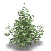 Garden Rubrum Plant