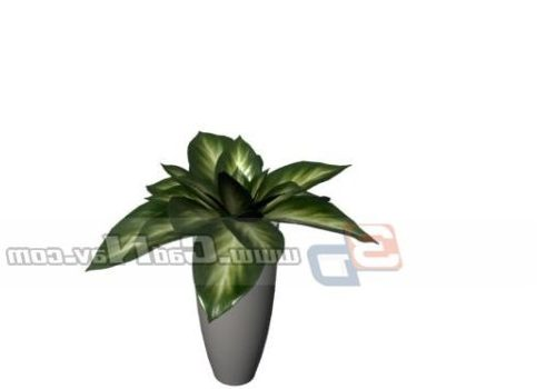 Indoor Rohdea Japonica Potted Plant