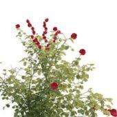 Rosa Davurica Pall Garden Plant