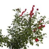 Tree Rosa Rugosa Plant