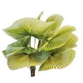 Ruffled Fan Garden Palm Tree