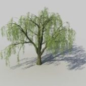 Nature Salix Willow Tree
