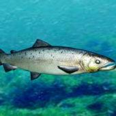 Salmon Fish Animal
