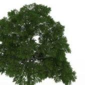 Green Sassafras Tree