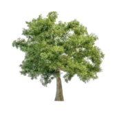 Nature Sausage Tree
