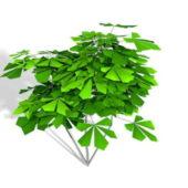 Schefflera Octophylla Plant