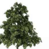 Nature Plant Sessile Oak Tree