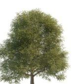 Green Silver Elm Tree