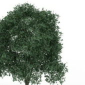 Silver Linden Tree Plant