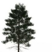 Nature Slash Pine Tree