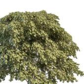Staphylea Bladdernut Plant Tree