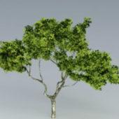Garden Sycamore Tree