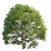 Nature Texas White Ash Tree