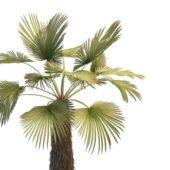 Trachycarpus Palm Green Tree