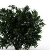 Ulmus Campestris Tree Plant