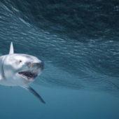 Sea Shark V1