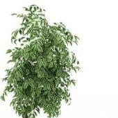 Green Variegated Euonymus Shrub