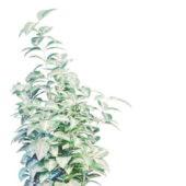Plant Variegated Shrubs