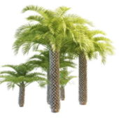 Collection Cabbage Palm