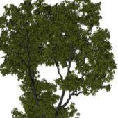 Garden Vegeta Elm Tree