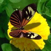 Viceroy Butterfly Animal