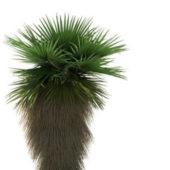 Washingtonia Robusta Palm Tree