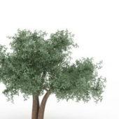 Green Weeping Ash Tree