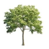 Nature White Elm Tree