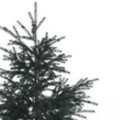 Nature White Fir Tree