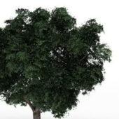 Garden Wych Elm Tree